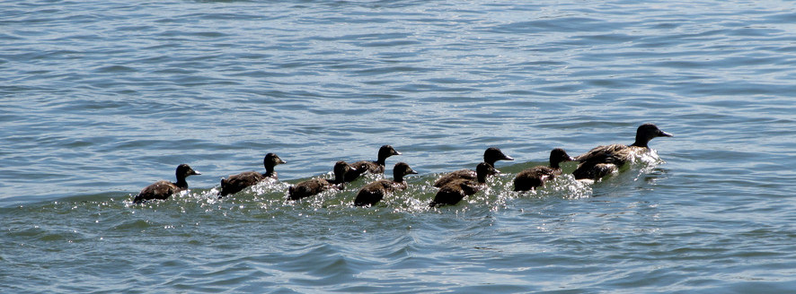 Ducks can swim, but governments generally can't – Public ...